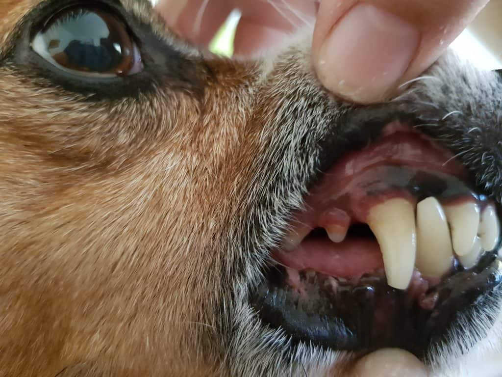 Zahnbild Hund Zahnstein